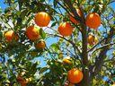 Plantio de laranja. Crédito: Pixabay