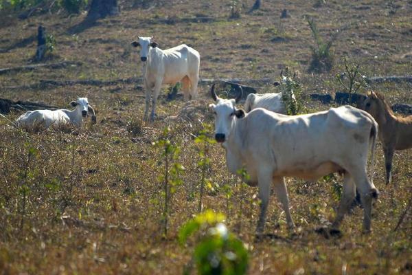 Gado na seca: cidades do ES integram a Sudene, mas ficam de fora de benefícios federais. Crédito: Agência Brasil/Divulgação