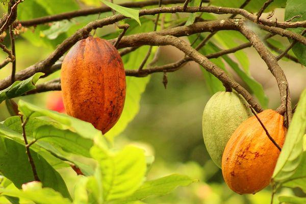 O cacau é um dos princiapais produtos da agricultura capixaba
