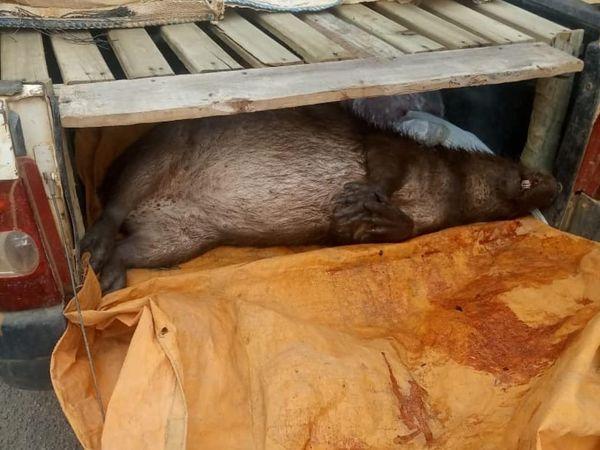A capivara foi encontrada junto com os caçadores detidos em flagrante na zona rural de Córrego Cristal, em São Domingos do Norte. Crédito: Polícia Militar / Divulgação
