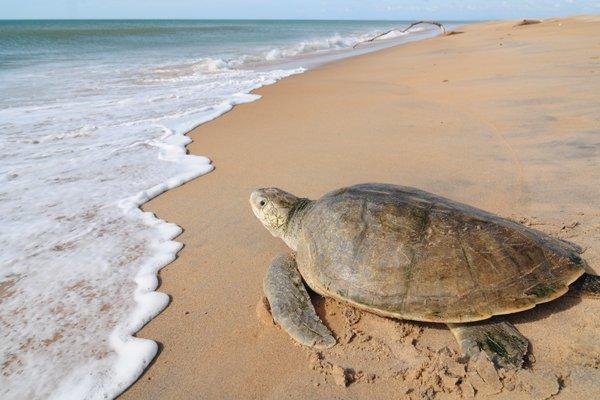 Tartaruga marinha, da espécie oliva, na praia do projeto Tamar na Reserva Biológica de Comboios, Linhares, que é ponto de monitoramento. Crédito: Gabriel Lordêllo