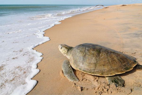Óleo é removido com cautela Norte do Espírito Santo para proteger ninhos de tartarugas 3