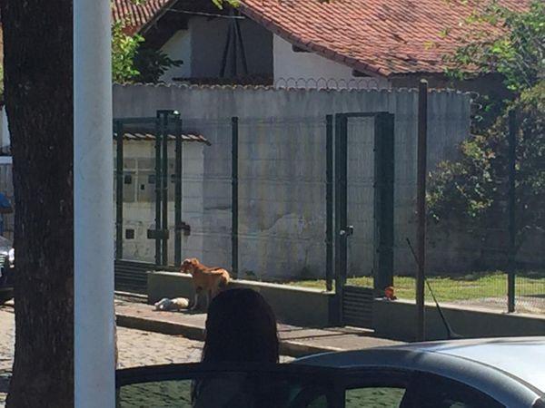 Pitbull carregou poodle na rua . Crédito: Foto Leitor