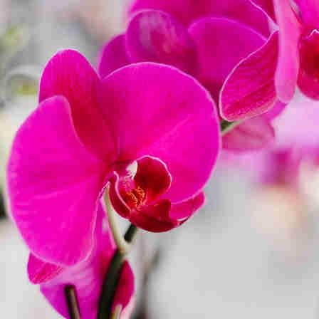 Orquídeas: como cuidar dessa flor para que ela dure mais em casa. Veja no quadro