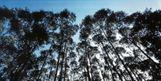 Floresta de eucalipto da Suzano