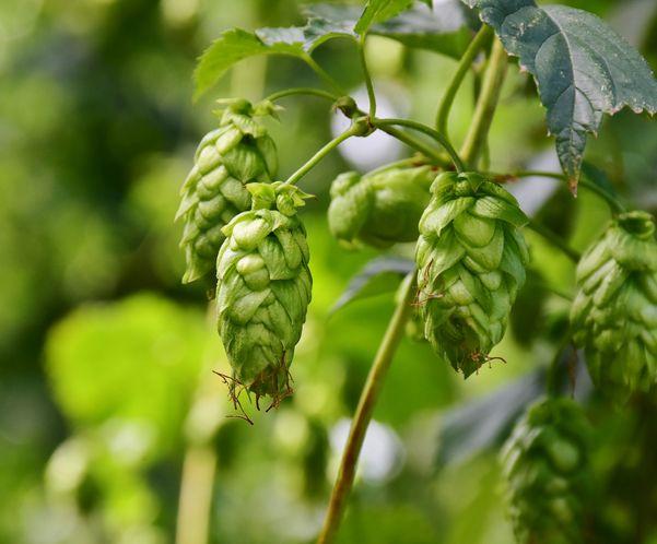 Além de adicionar amargor, o lúpulo também conserva a cerveja. Crédito: Pixabay