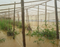 Produção de tomate foi inundada em Santa Maria do Jetibá. Crédito: Débora Tesch