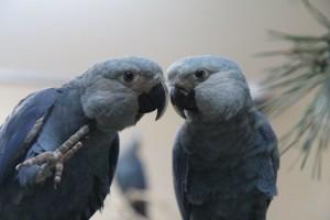 Ararinhas-azuis que estavam em cativeiro na Alemanha chegam ao Brasil para processo de reinserção ao habitat natural . Crédito: Divulgação / Artigos acadêmicos sobre Association for the Conservation of Threatened Parrots (ACTP)