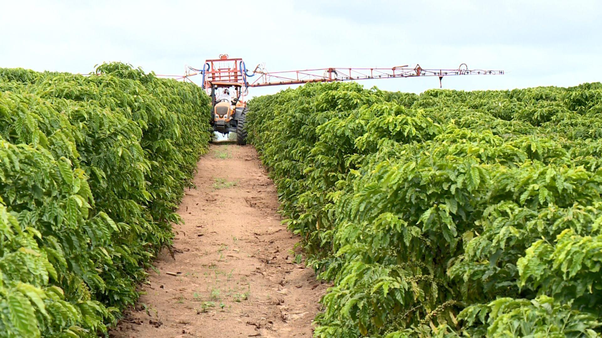 Cultivo adensado é aposta em lavouras para aumentar produção de café