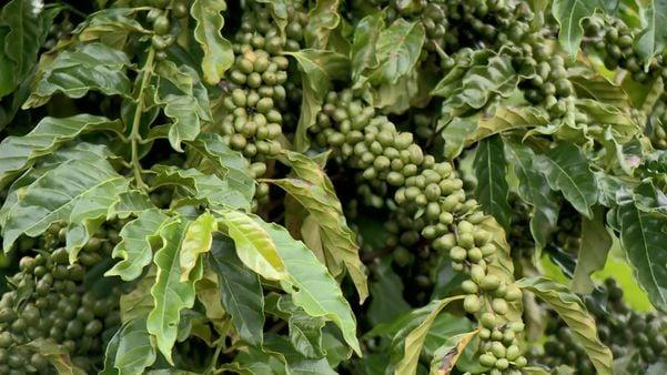 Cultivo adensado é aposta em lavouras para aumentar produção de café. Crédito: TV Gazeta Norte