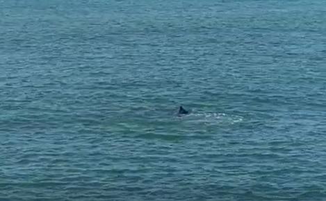 Golfinhos são vistos nadando em Marataízes
