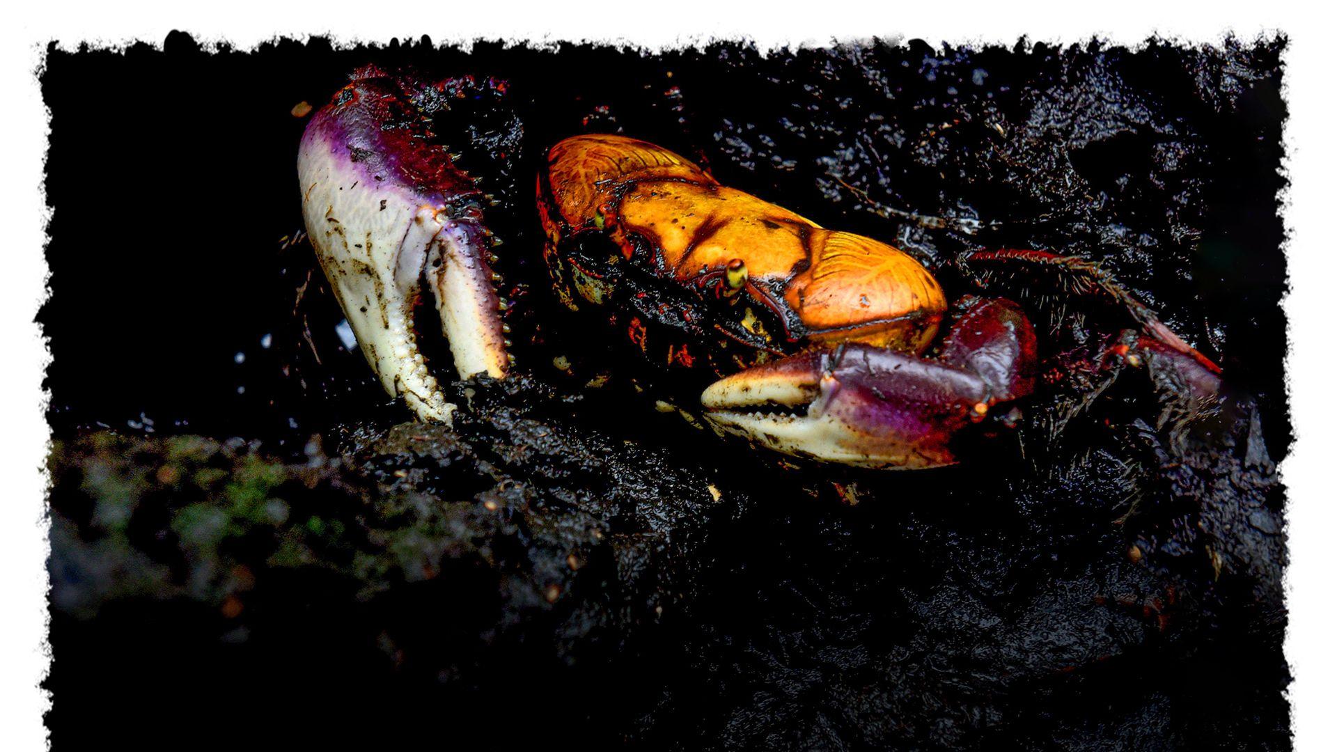 Caranguejo em meio à lama do manguezal, em Vitória