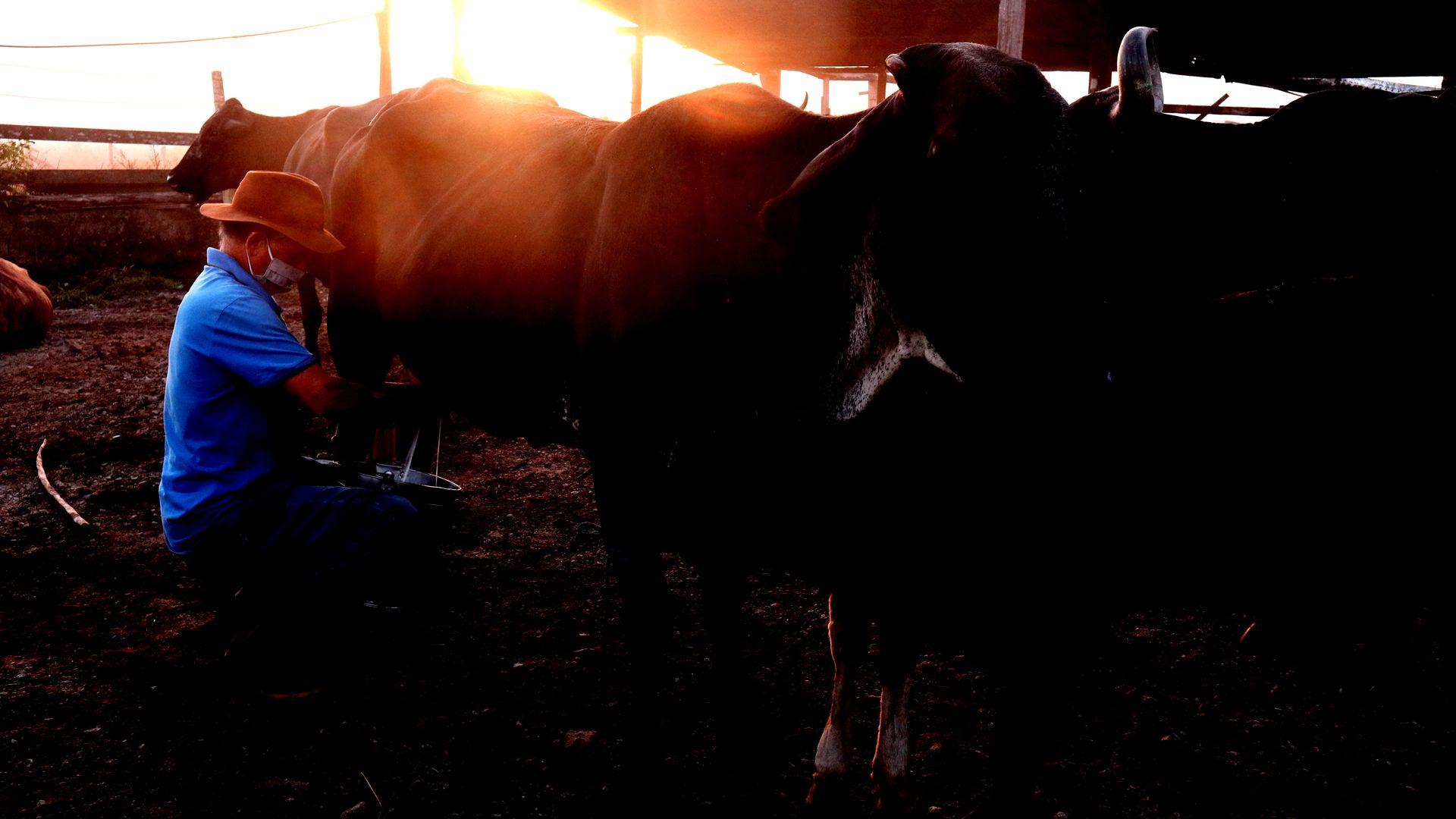 O sol mal nasceu e Gilven Antônio Piazzollo ordenha as vacas para vender o leite