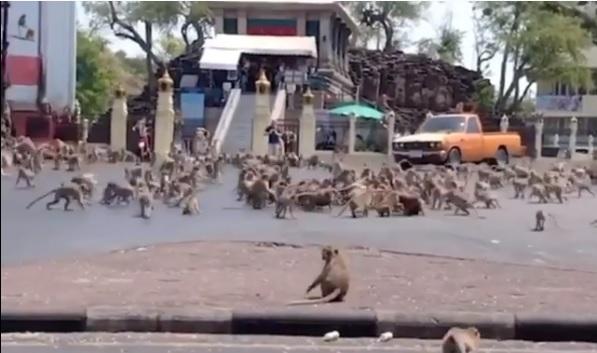 Macacos invadem ruas de Lopburi, na Tailândia