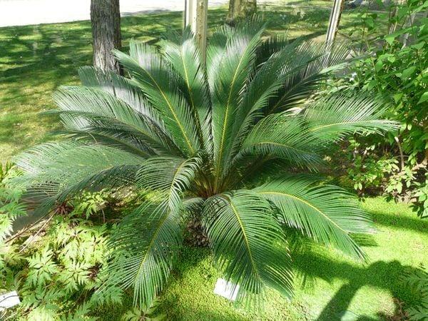 Palmeira-de-sagu