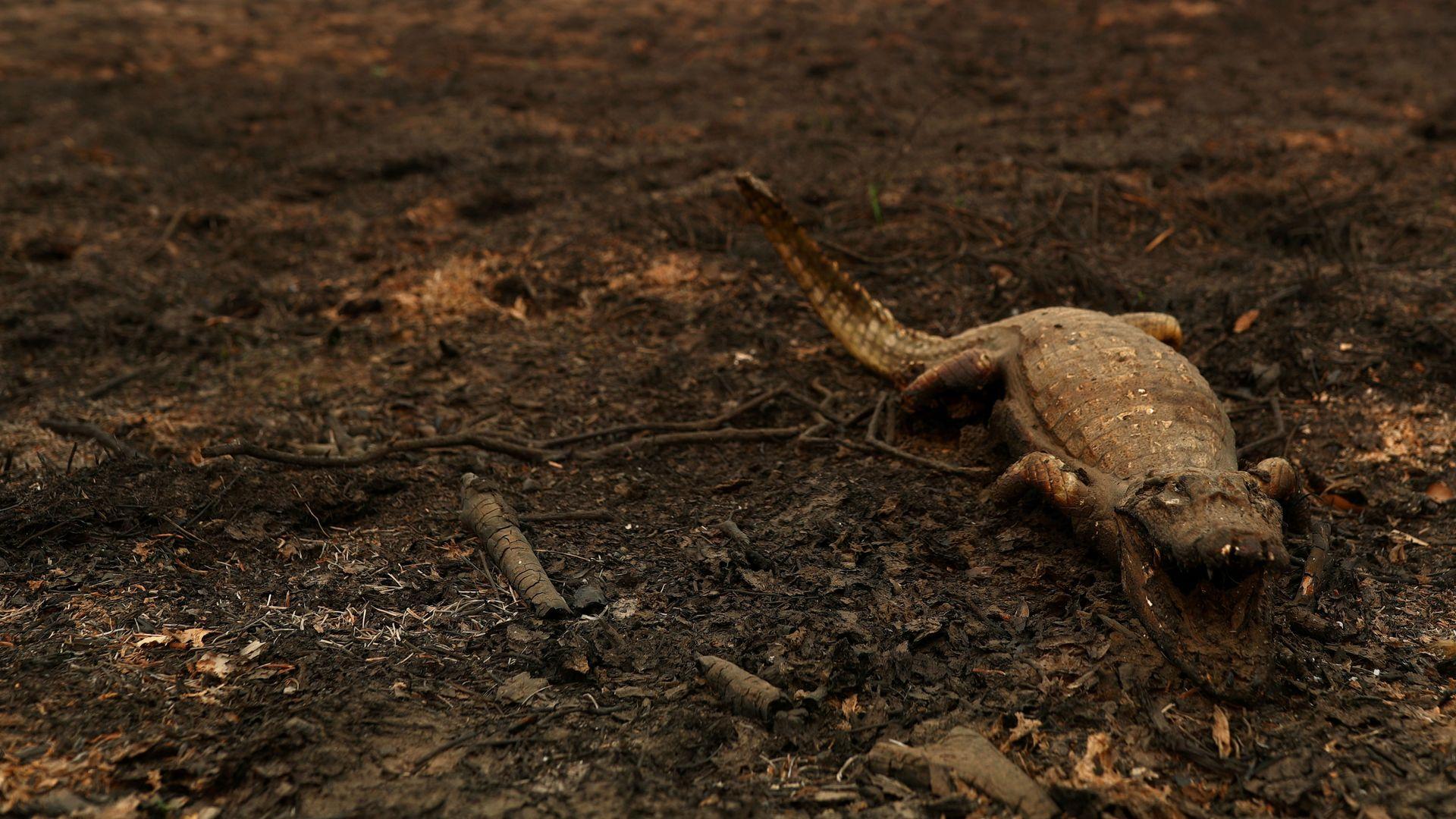 Um jacaré morto é fotografado em uma área que foi queimada em um incêndio no Pantanal.