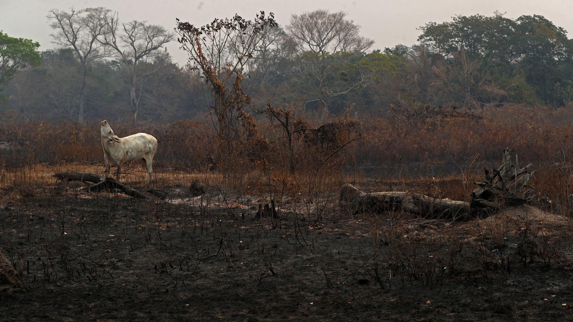 Uma vaca se encontra em uma área que foi queimada em um incêndio em uma fazenda no Pantanal, a maior área úmida do mundo, em Pocone, estado de Mato Grosso, Brasil, 27 de agosto de 2020. REUTERS / Amanda Perobelli PROCURE