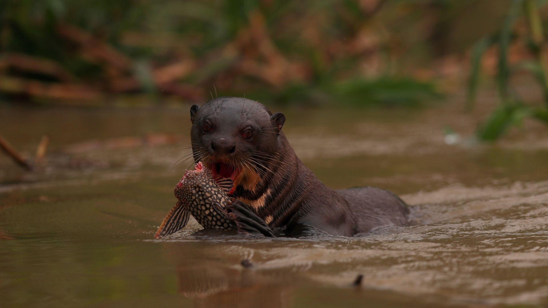 Ariranha come peixe enquanto nada no rio Cuiabá, em meio à fumaça de um incêndio, dentro do Parque Estadual Encontro das Águas, no Pantanal, maior pantanal do mundo, no estado de Mato Grosso, Brasil, 3 de setembro de 2020. REUTERS / Amanda Perobelli