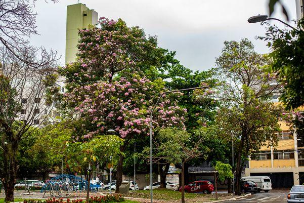 Ipês floridos chamam atenção pelas ruas de Vitória q0chfvuq
