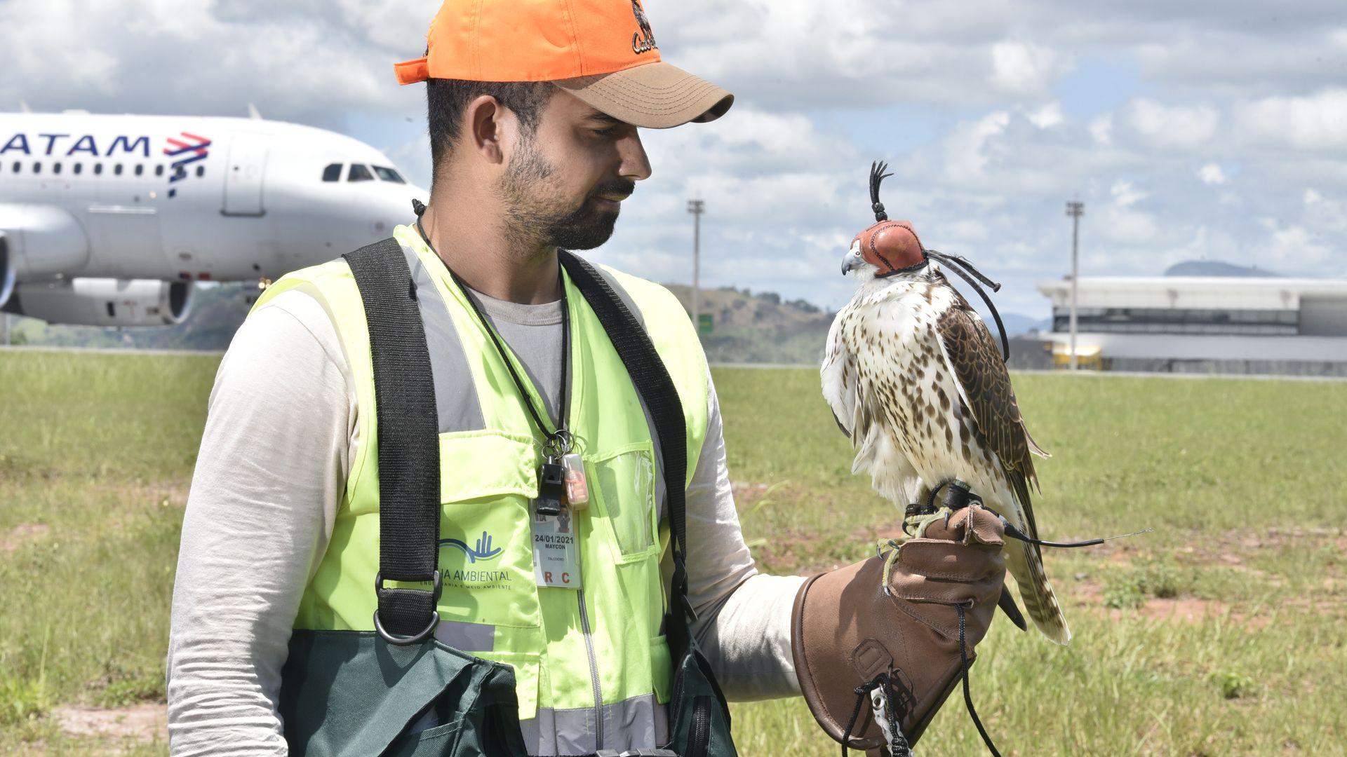 O falcoeiro é fundamental no treinamento e êxito do animal no trabalho de afugentamento de outras aves
