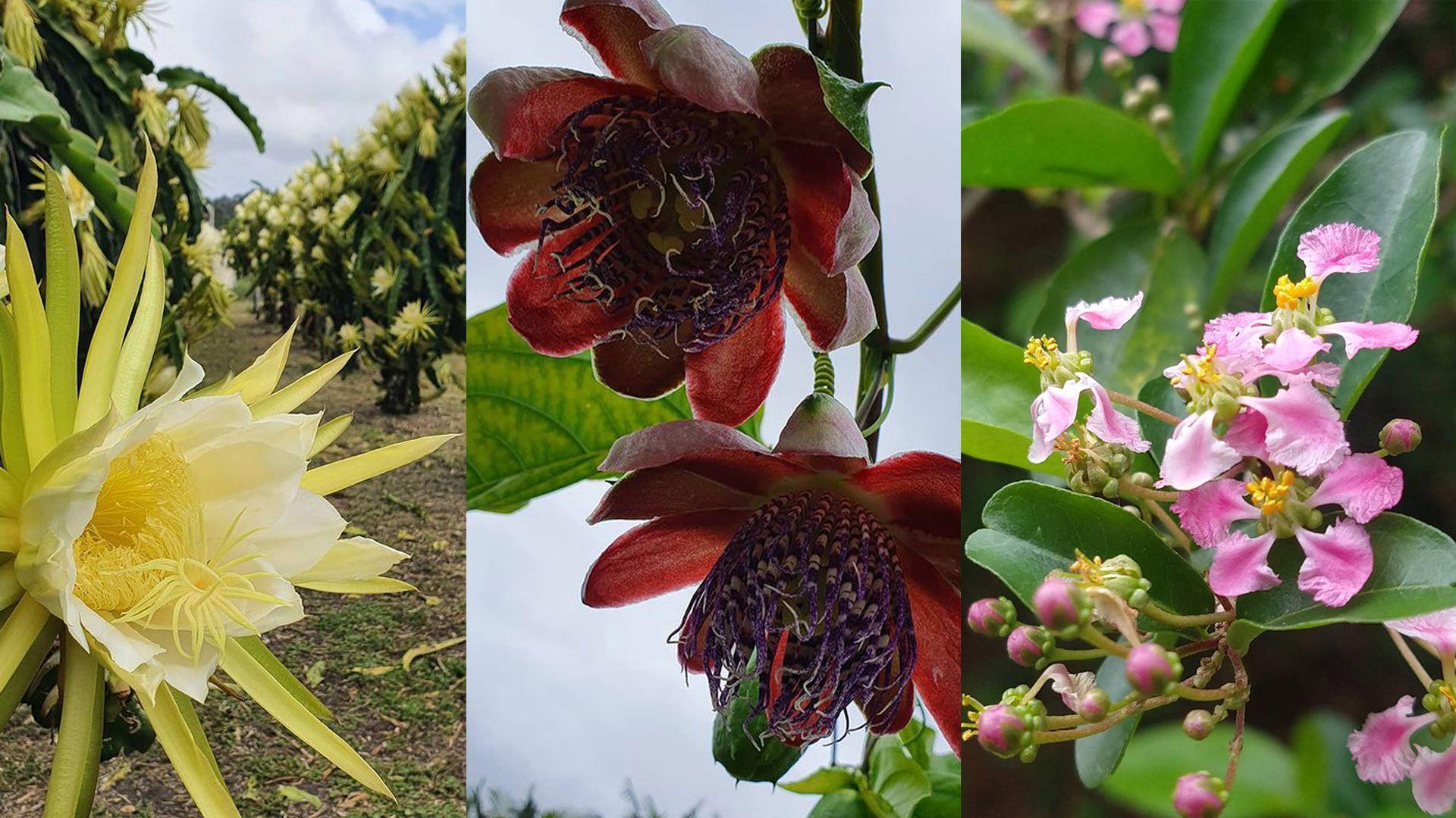 Flores de pitaya, maracujá e acerola