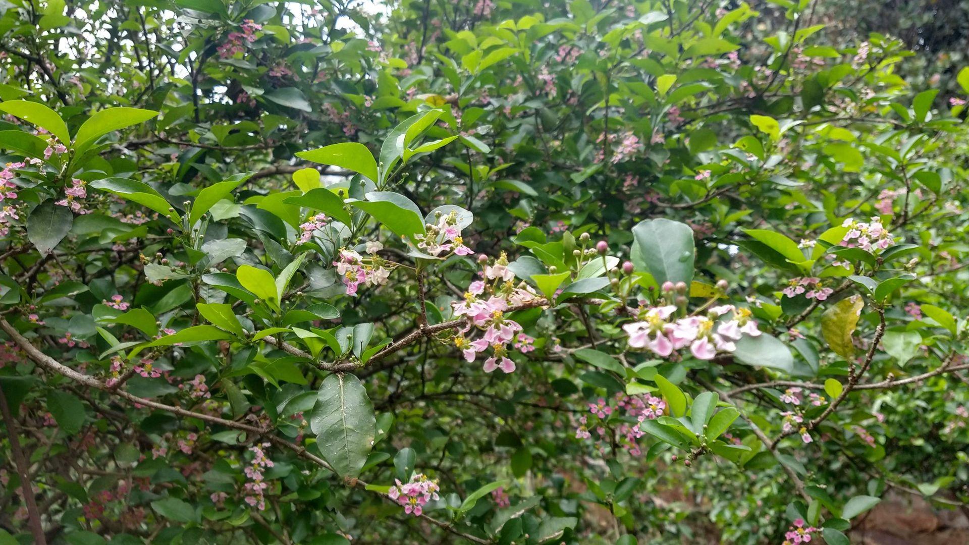 Florada de acerola, em Viana