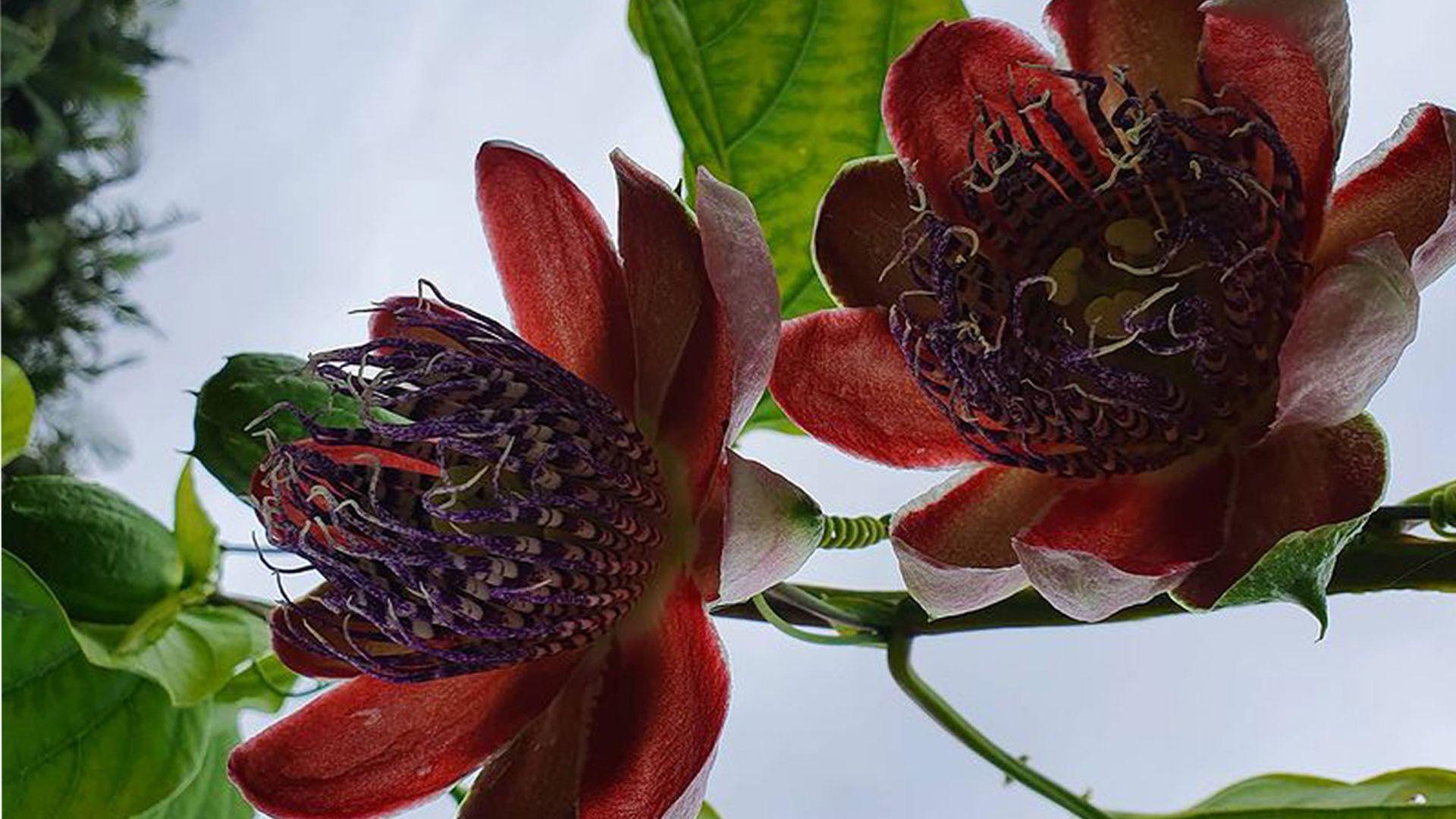 Florada de maracujá doce na Rota do Carmo, na Pedra Azul, Região do município de Domingos Martins