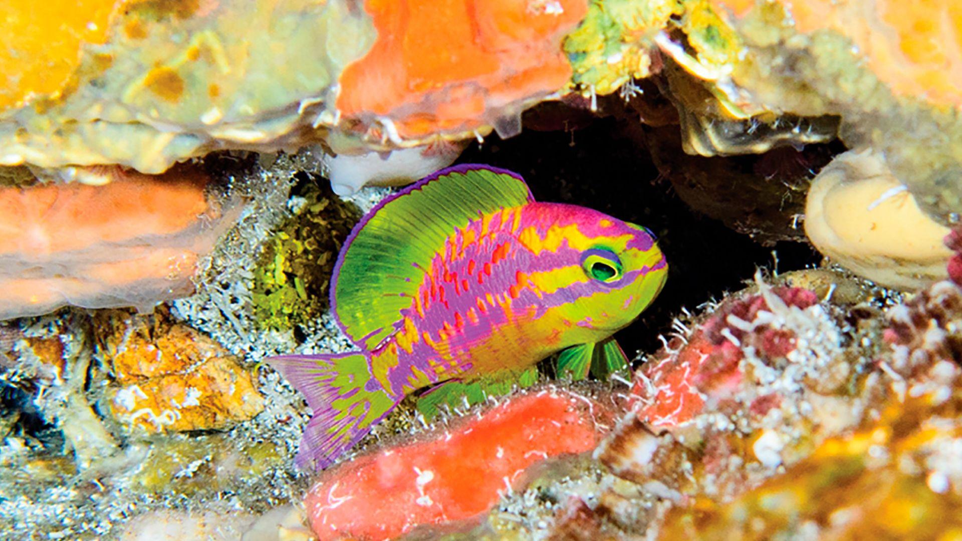 Peixe-afrodite (Tosanoides sp.) é uma das novas espécies descobertas em Fernando de Noronha (PE)