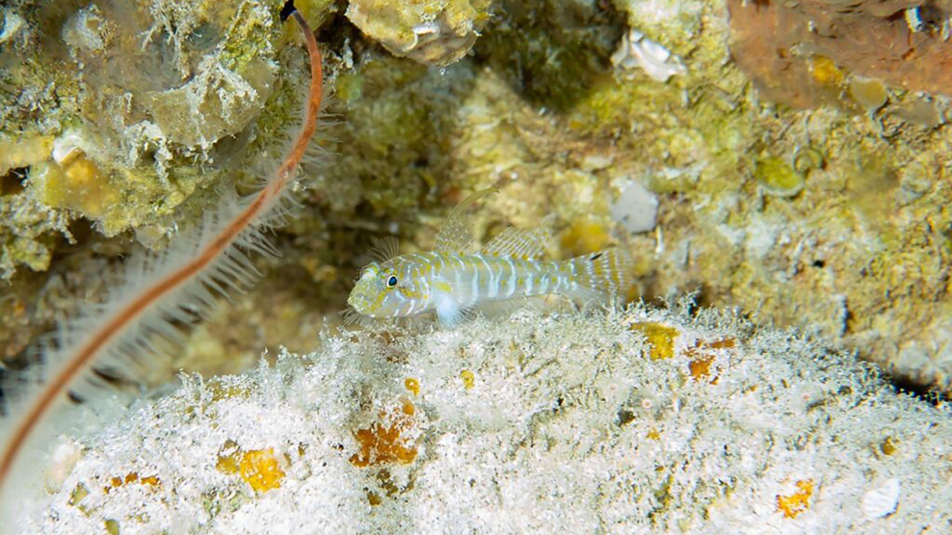 Nova espécie de peixe gobídeo