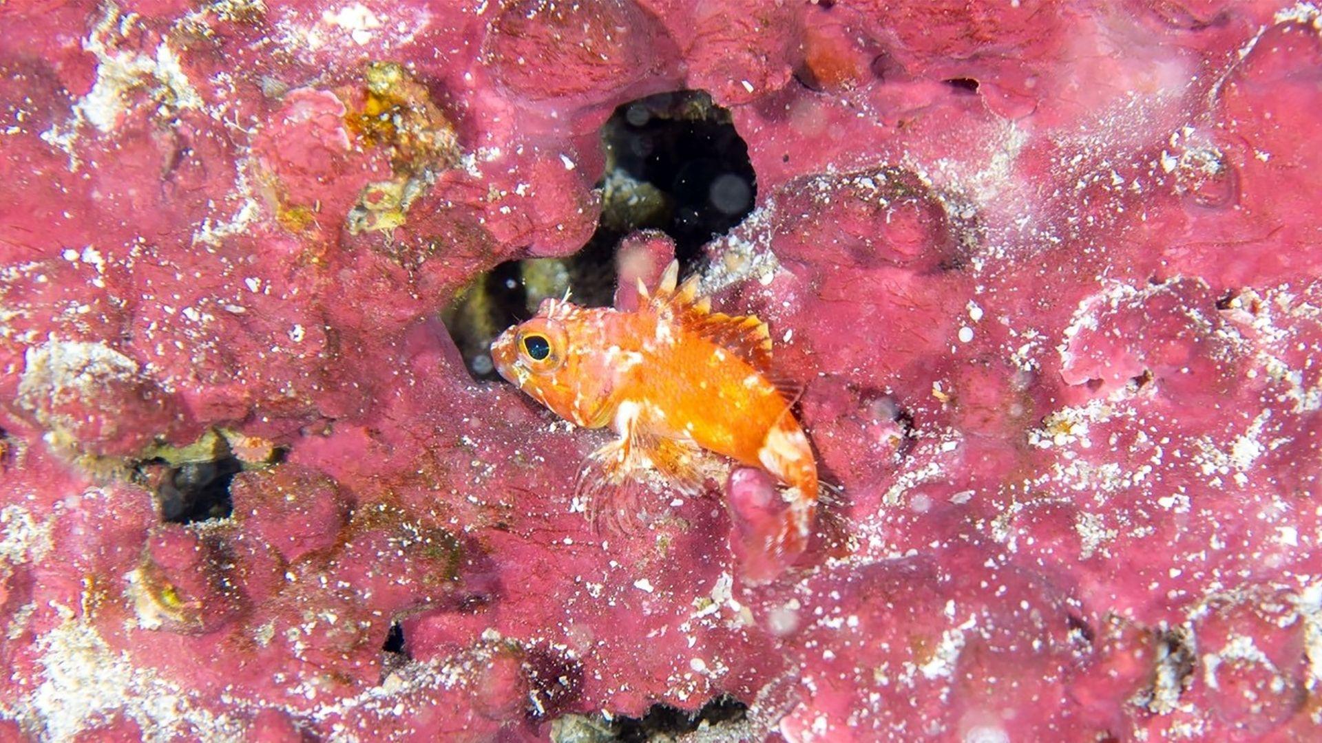 Peixe-pedra (Scorpaena sp.)
