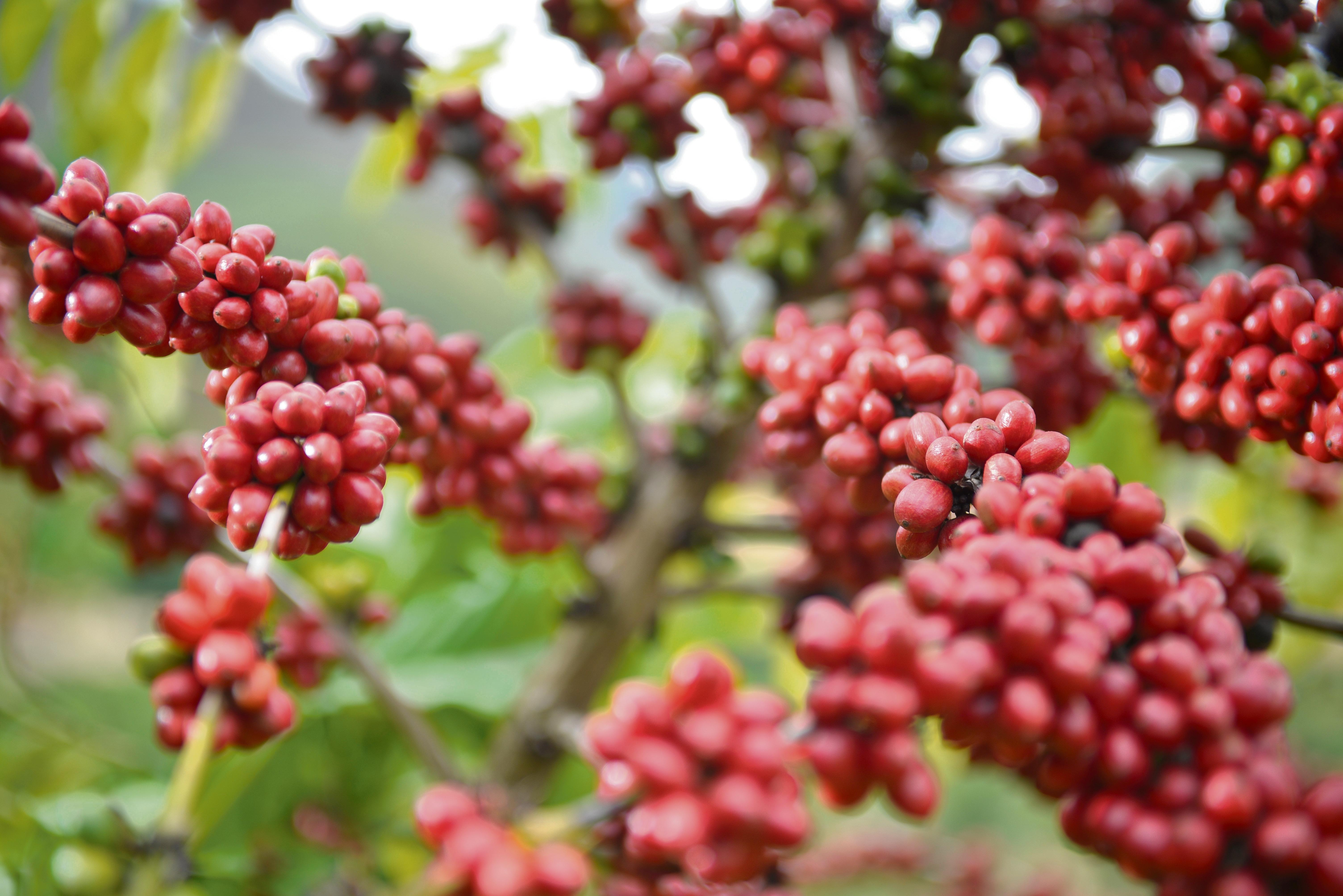 Pé de café com frutos maduros em Santa Leopoldina -24/05/2016