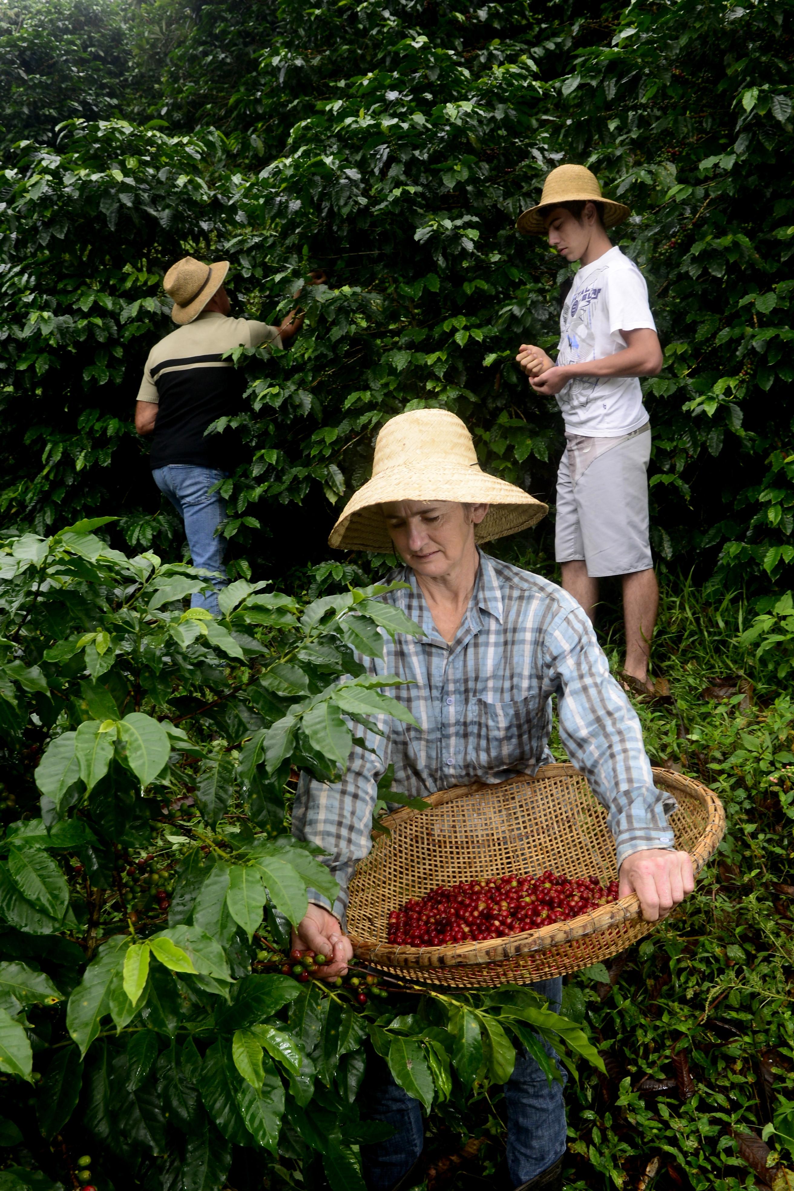 Produção cafeeira é coisa de família no Espírito Santo - 23/06/2020. Crédito: Ricardo Medeiros