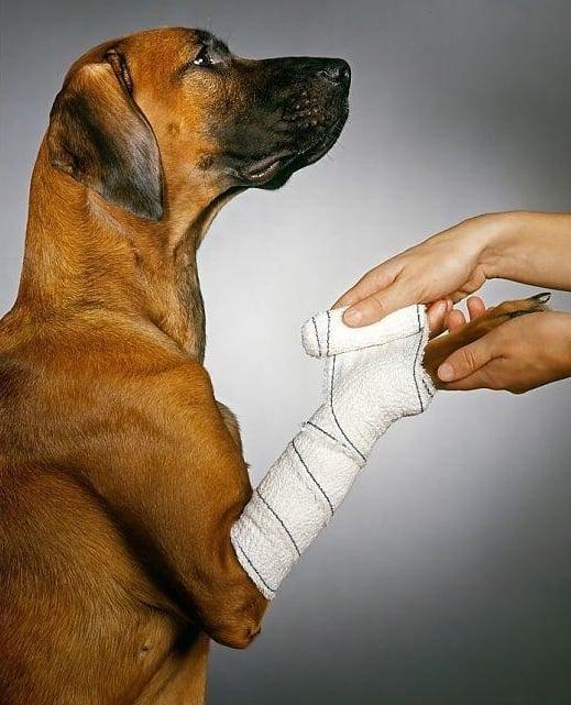 Alguns cães por suas características genéticas, e por fim de conformação corporal, estão mais predispostos a fraturas