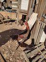 Foram encontrados oito galos usados em rinhas no terreno da casa do autônomo, em Itapemirim