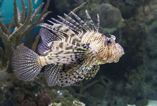 Peixe-leão foi encontrado recentemente no arquipélago de Fernando de Noronha. Nenhuma aparição foi registrada no ES. Crédito: Pexels