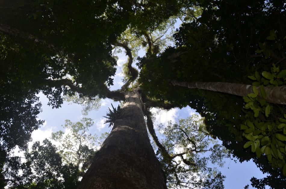 Com 47 metros de altura, jequitibá de João Neiva é o maior do ES. Crédito: Prefeitura de João Neiva